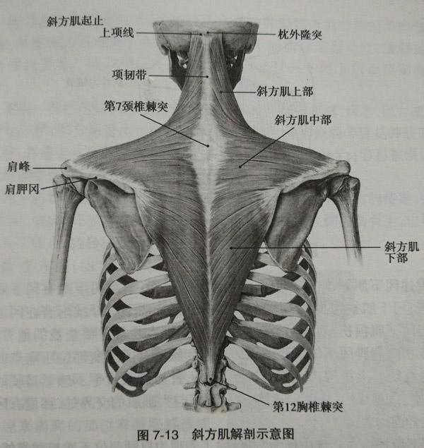 斜方肌_斜方肌肩胛骨附着处压痛点如何检查?_广州小针刀培训_小针刀